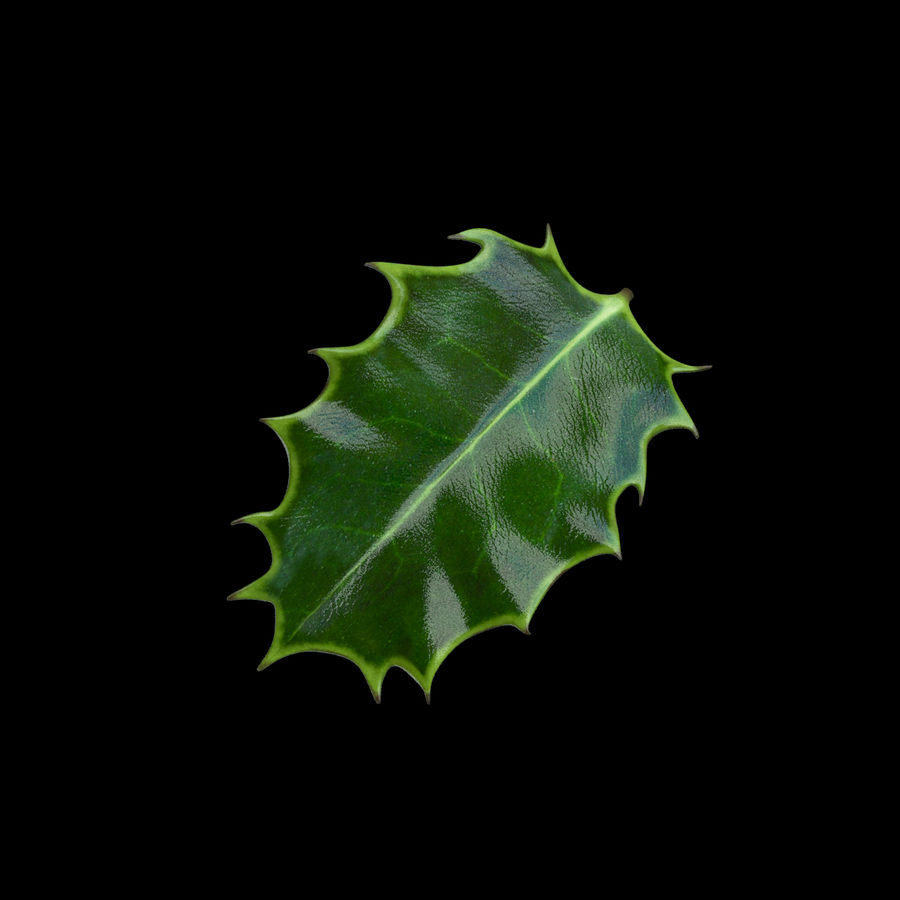 Holly Leaf B royalty-free 3d model - Preview no. 8