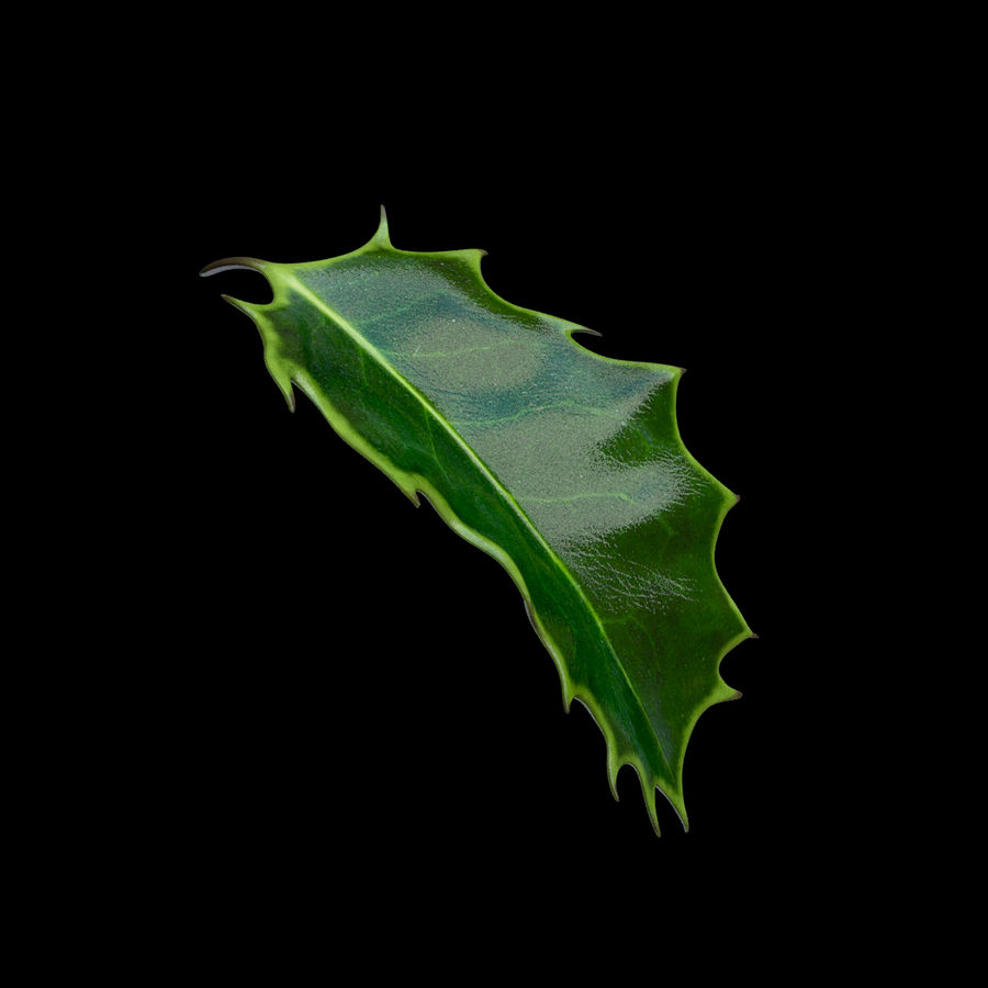 Holly Leaf B royalty-free 3d model - Preview no. 7