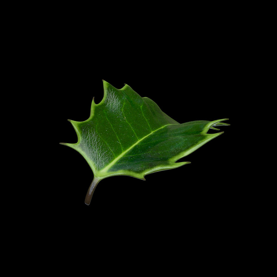 Holly Leaf B royalty-free 3d model - Preview no. 6