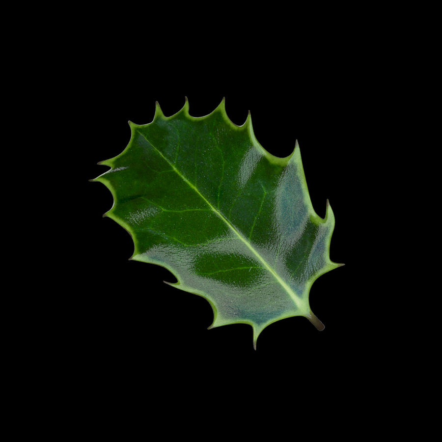 Holly Leaf B royalty-free 3d model - Preview no. 5