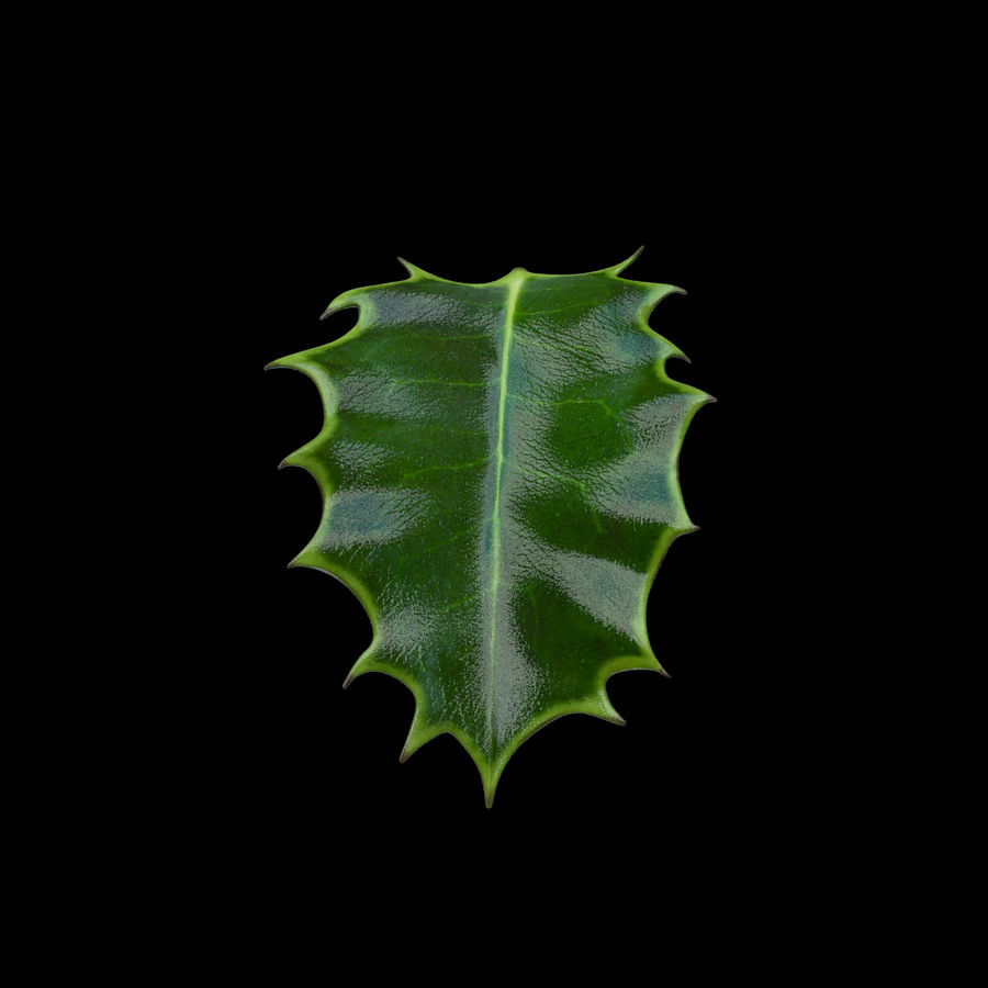 Holly Leaf B royalty-free 3d model - Preview no. 4