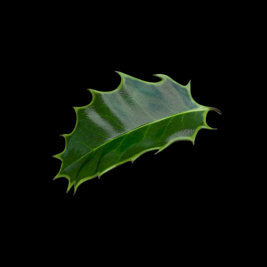 Holly Leaf B royalty-free 3d model - Preview no. 3