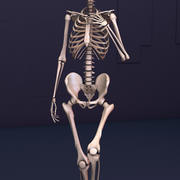 The Skeleton 3d model