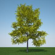 Gleditsia Triacanthos Sunburst 2 3d model