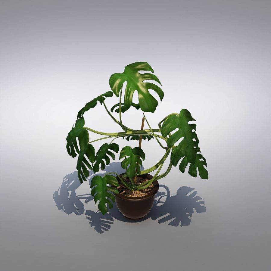 Philodendron Monstera Floor Plant royalty-free 3d model - Preview no. 6