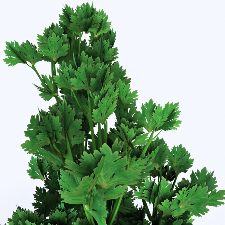 Celery royalty-free 3d model - Preview no. 9