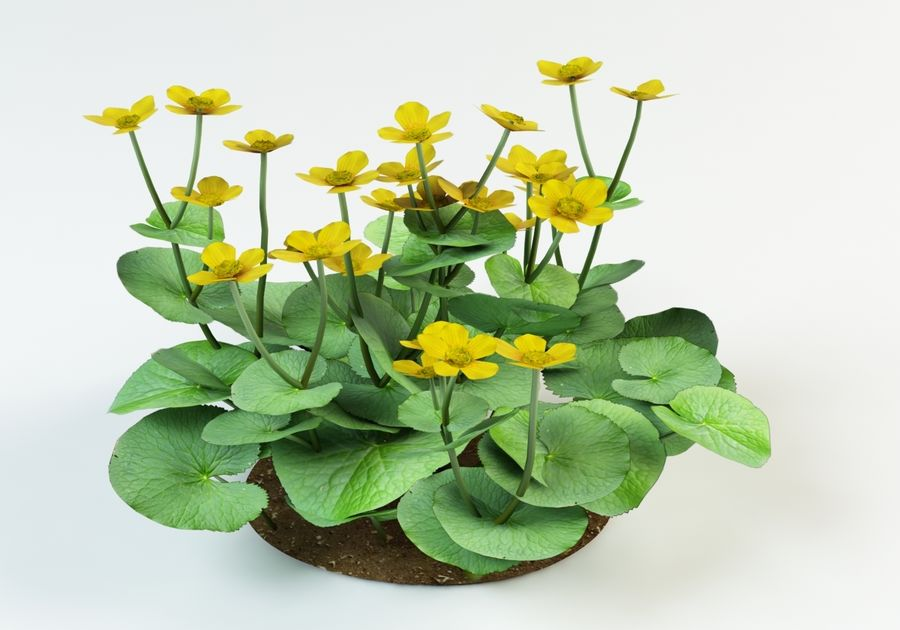 caltha palustris kingcup marsh marigold royalty-free 3d model - Preview no. 1