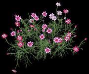 cosmos flower 3d model