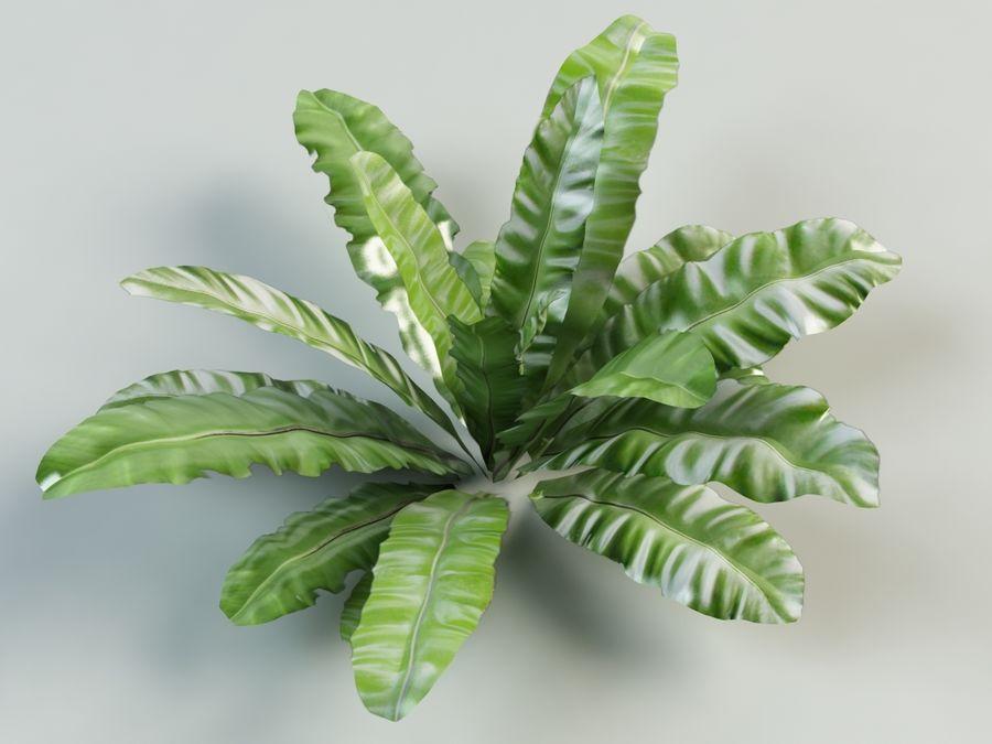 asplenium nidus nest fern royalty-free 3d model - Preview no. 3