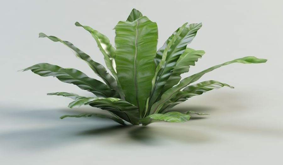 asplenium nidus nest fern royalty-free 3d model - Preview no. 6
