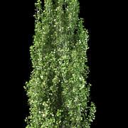 pyramidal silver poplar 3d model