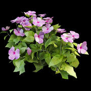 Balsam Impatiens walleriana 3d model