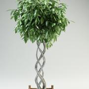 fig tree ficus 3d model