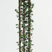 Canarian Ivy Hedera canariensis 3d model