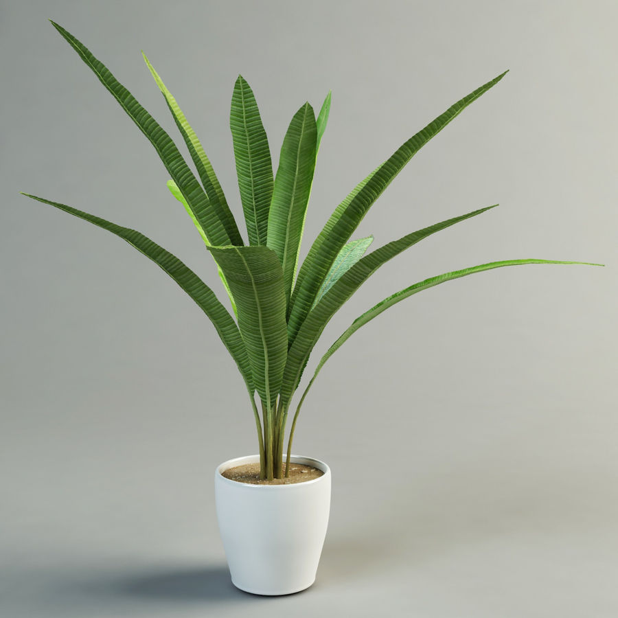 musa palm royalty-free 3d model - Preview no. 1