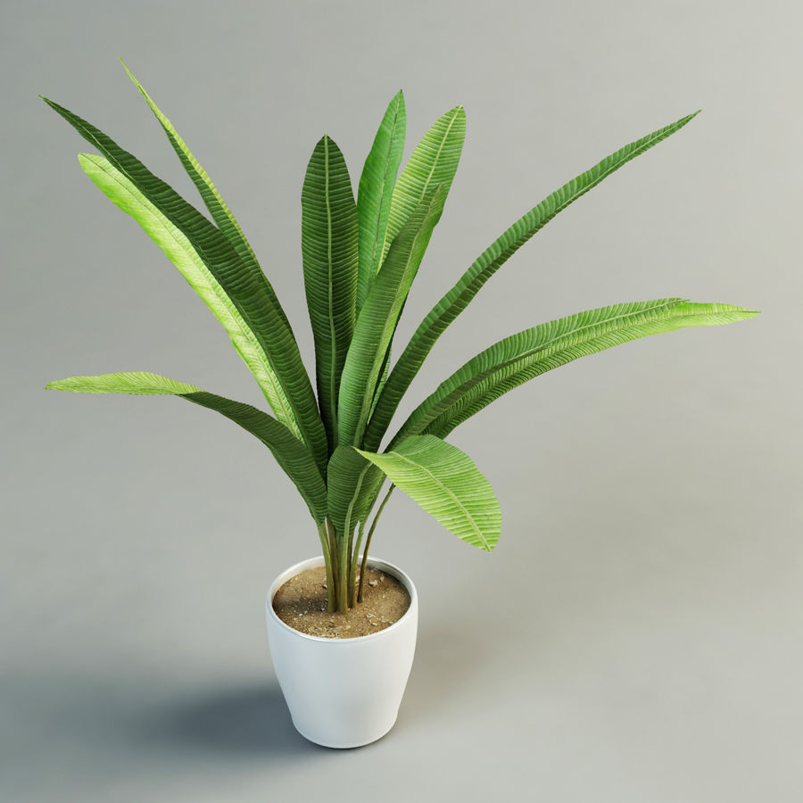 musa palm royalty-free 3d model - Preview no. 3