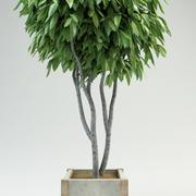 fig tree ficus 2 3d model