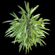 Ficus binnendijkii 3d model