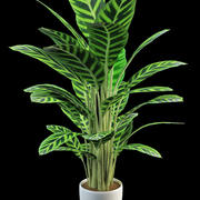 gebed planten calathea 3d model