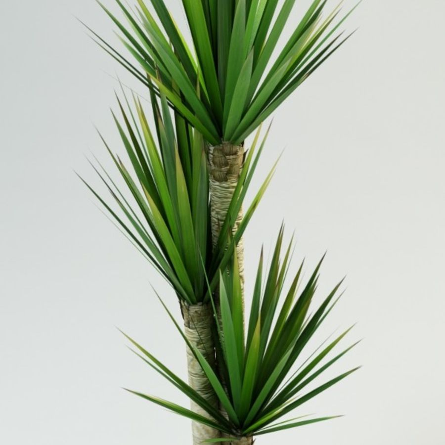 yucca Spanish dagger royalty-free 3d model - Preview no. 3