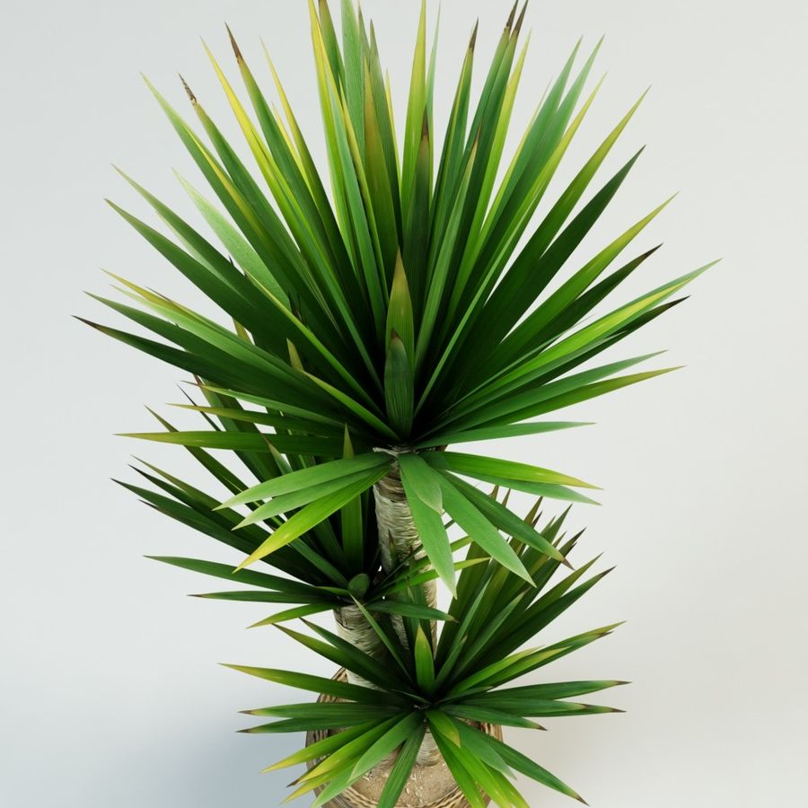 yucca Spanish dagger royalty-free 3d model - Preview no. 5