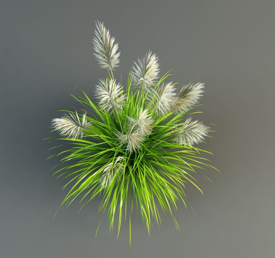 Pampas Grass royalty-free 3d model - Preview no. 4