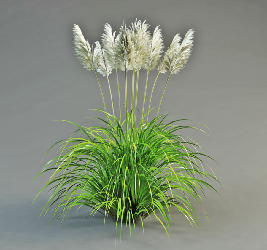 Pampas Grass royalty-free 3d model - Preview no. 2