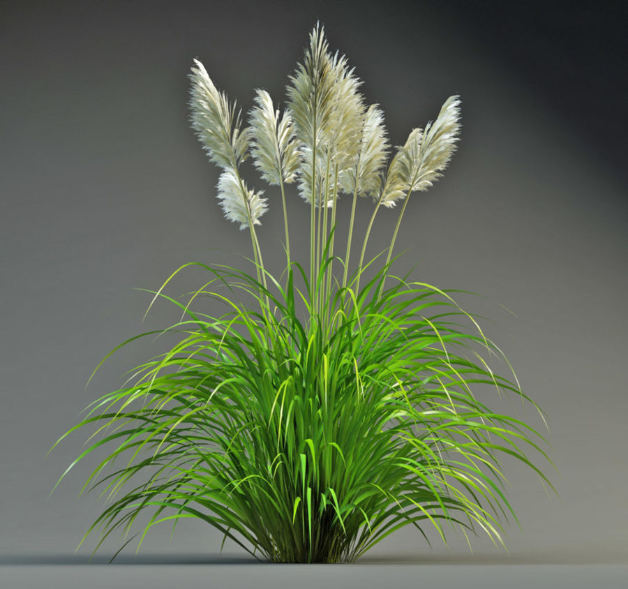 Pampas Grass royalty-free 3d model - Preview no. 1