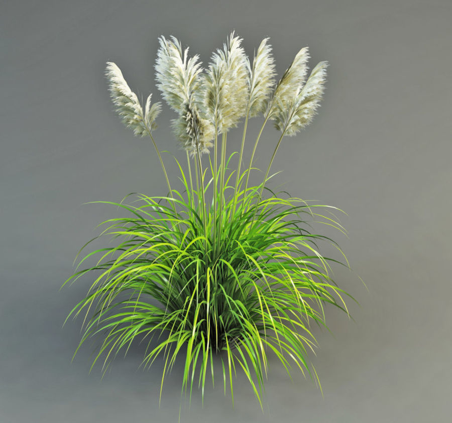 Pampas Grass royalty-free 3d model - Preview no. 3
