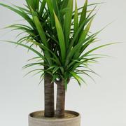 Dague espagnole Yucca gloriosa 3d model
