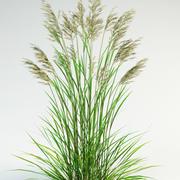 tall fescue Festuca arundinacea 3d model