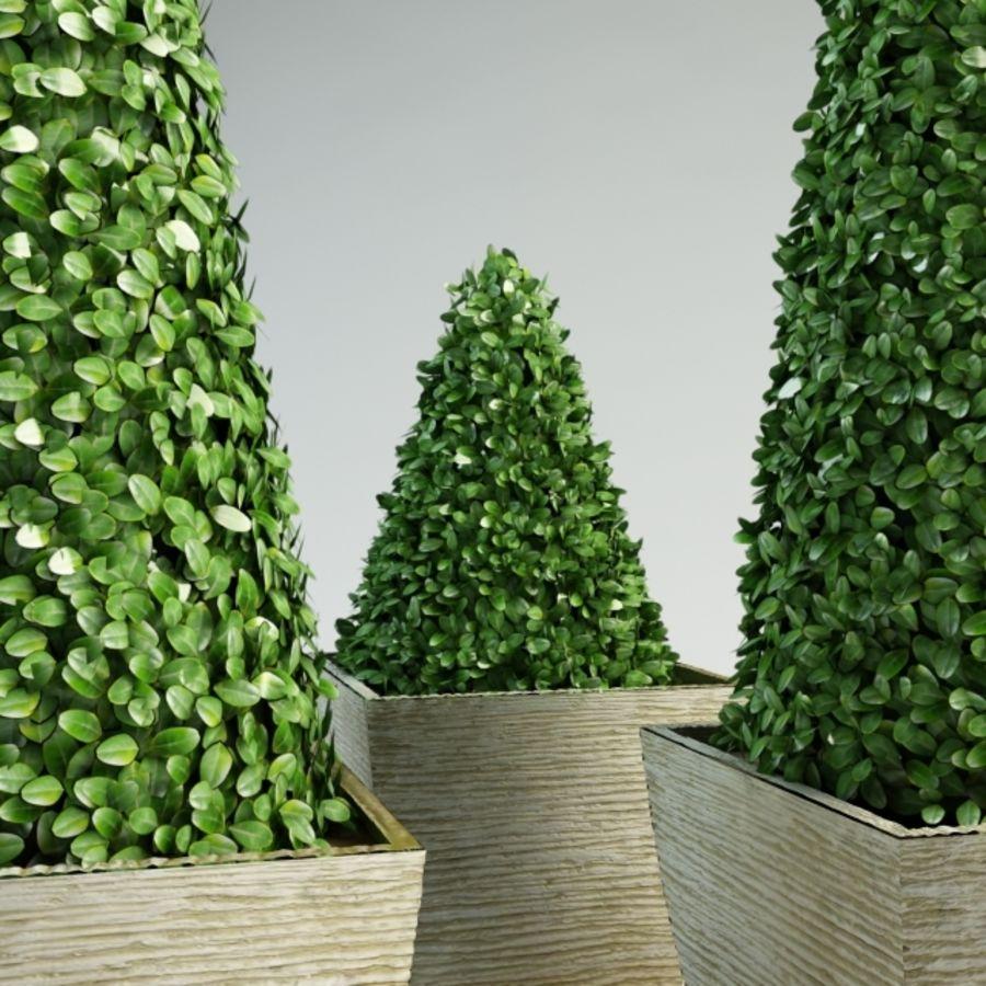 boxwood cone bush royalty-free 3d model - Preview no. 5