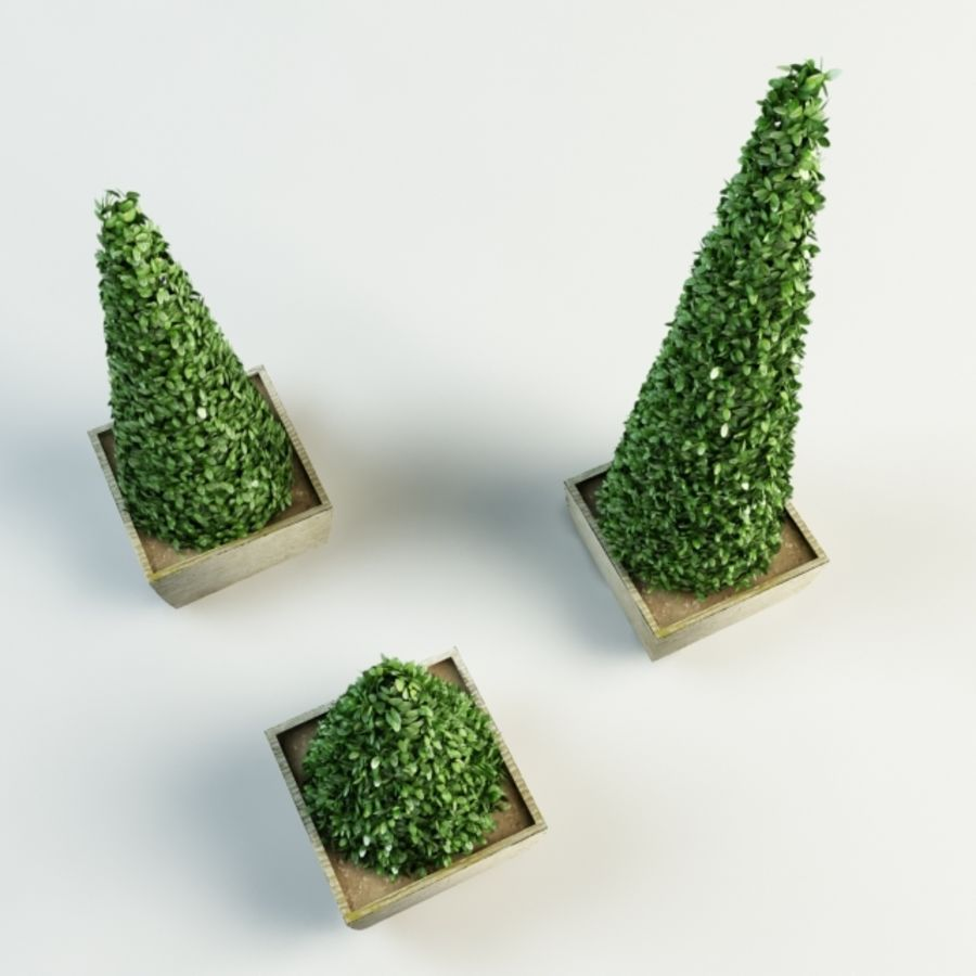 boxwood cone bush royalty-free 3d model - Preview no. 4