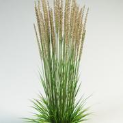 röda gräs calamagrostis acutiflora 3d model