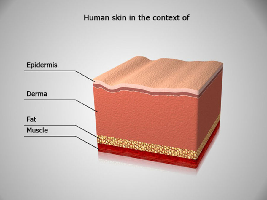 Skin Anatomy Human skin in the context of 3D Model $12 - .oth .max ...