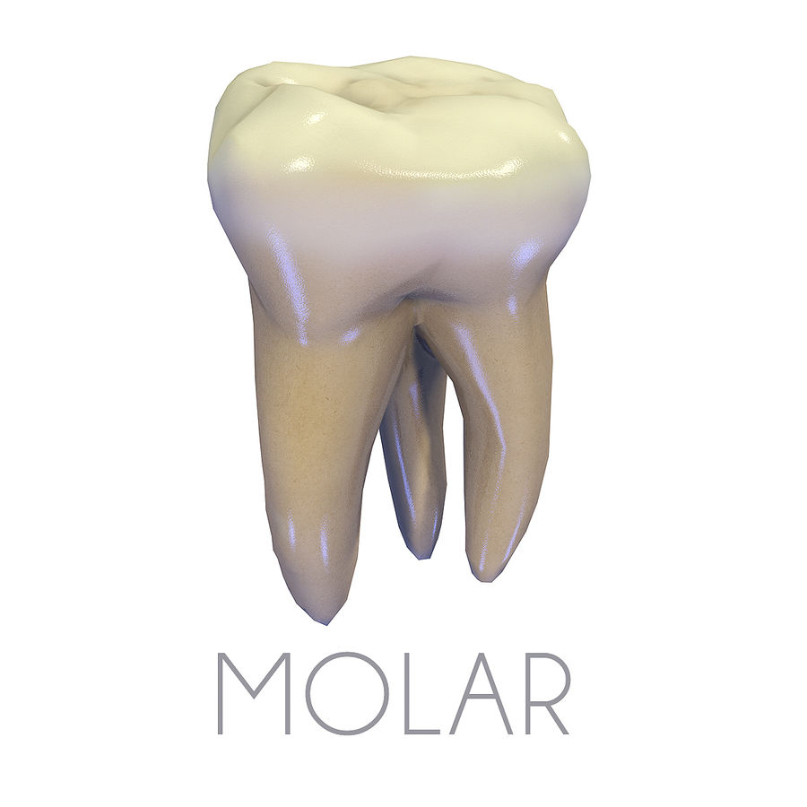 Tänder andra övre molar royalty-free 3d model - Preview no. 4