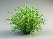 cordgrass cord-grass spatrina grass 3d model