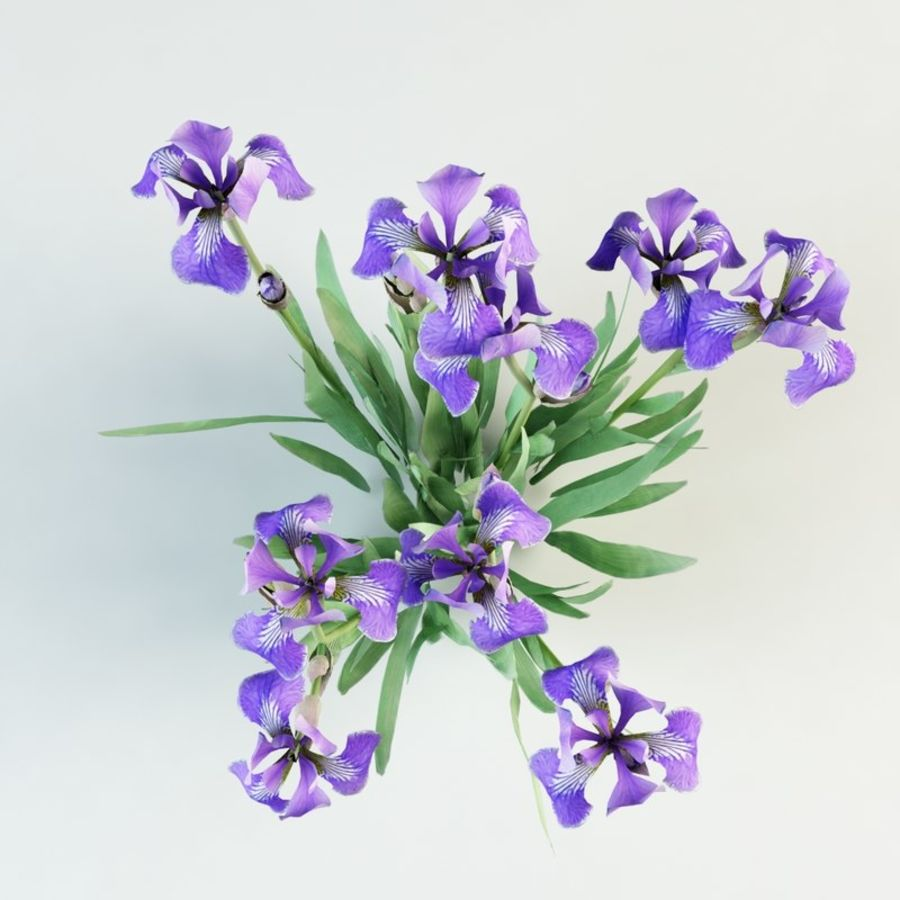 fleur d'iris germanica royalty-free 3d model - Preview no. 4