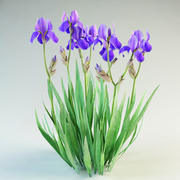 iris germanica çiçek 3d model