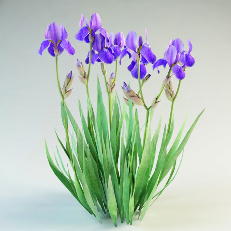 fleur d'iris germanica royalty-free 3d model - Preview no. 1