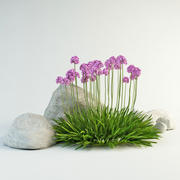 armeria maritima sea thrift 3d model