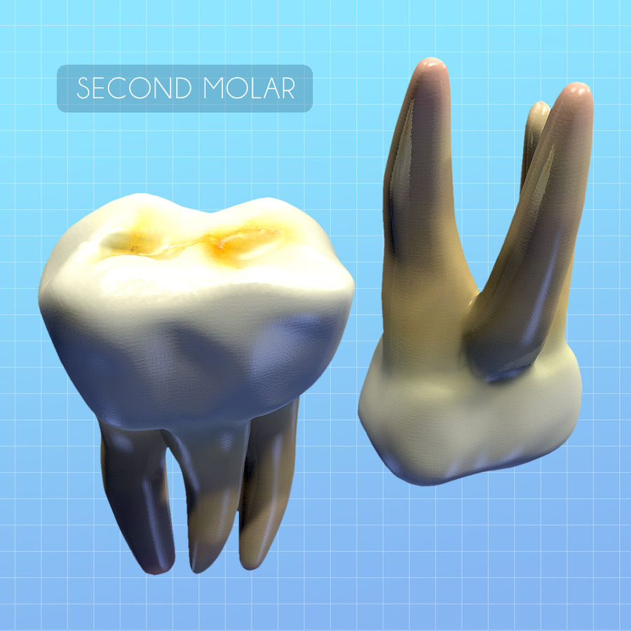 Human Second Molar royalty-free 3d model - Preview no. 4