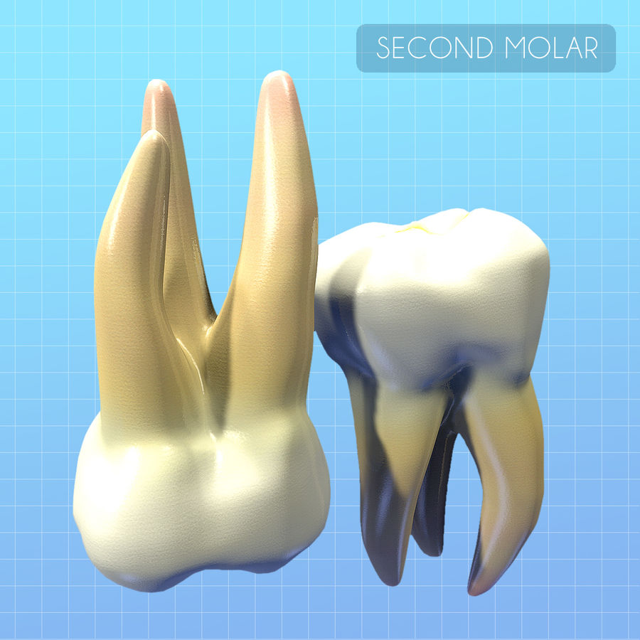 Human Second Molar royalty-free 3d model - Preview no. 5