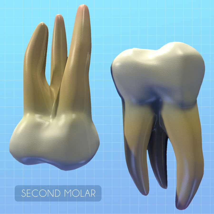 Human Second Molar royalty-free 3d model - Preview no. 2