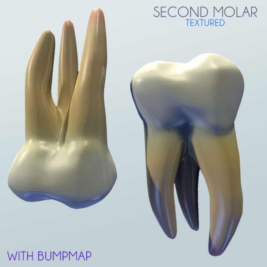 Human Second Molar royalty-free 3d model - Preview no. 1