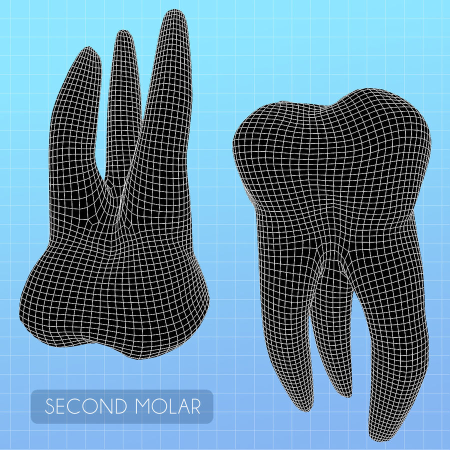 Human Second Molar royalty-free 3d model - Preview no. 7