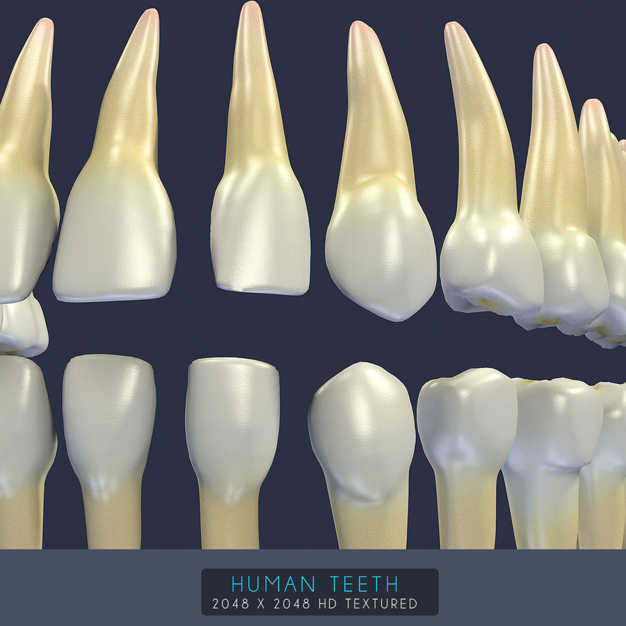 Human Teeth Textured royalty-free 3d model - Preview no. 20