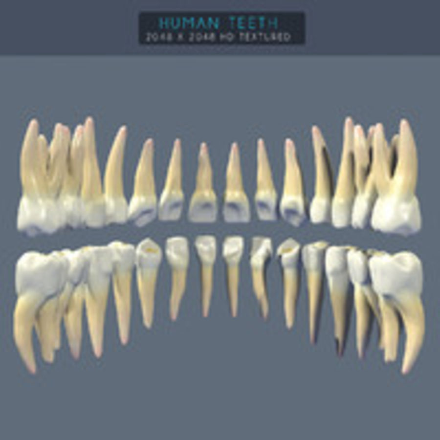 Human Teeth Textured royalty-free 3d model - Preview no. 5
