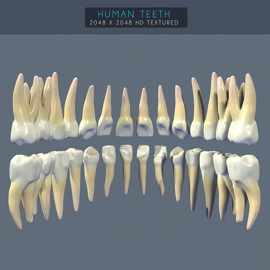 Human Teeth Textured royalty-free 3d model - Preview no. 2