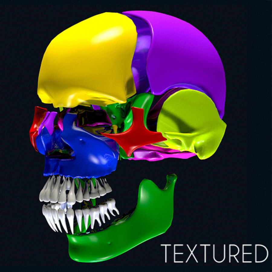 Anatomy Skull Color Parts royalty-free 3d model - Preview no. 1